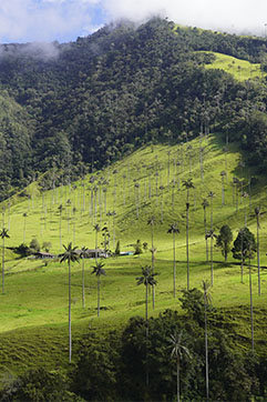 Wax palm cocora valley