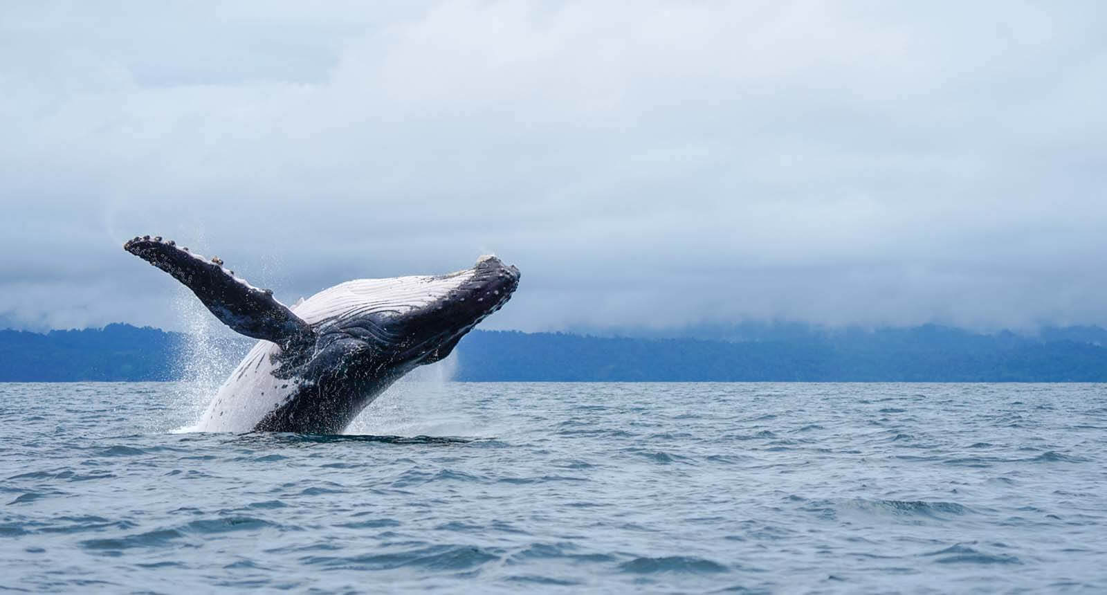 Jumping Whale in the pacific Colombia