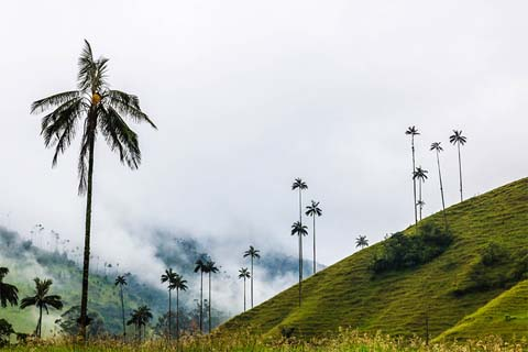 Wax palm trees cloud forest