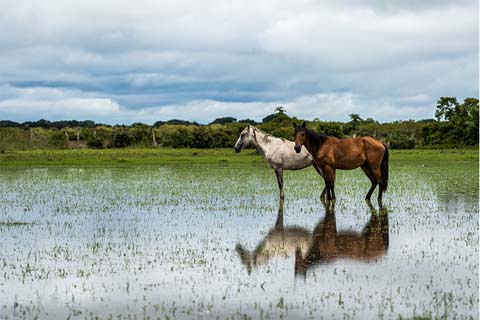 Horses reflection on water llanos