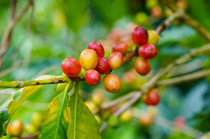 Coffee Grains Colombia
