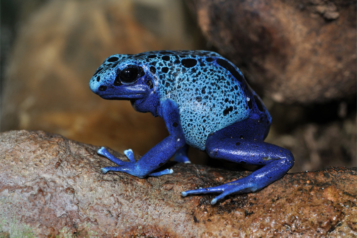 Posion Dart Frog in Colombia