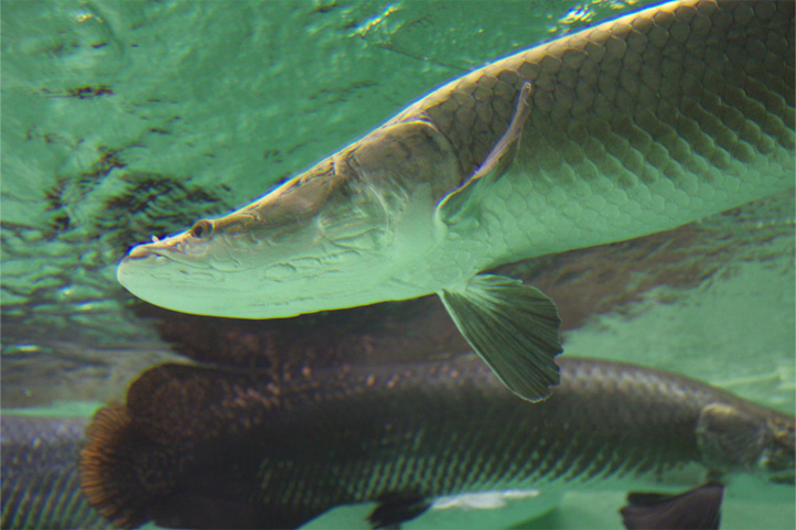 Pirarucu fish in Colombia