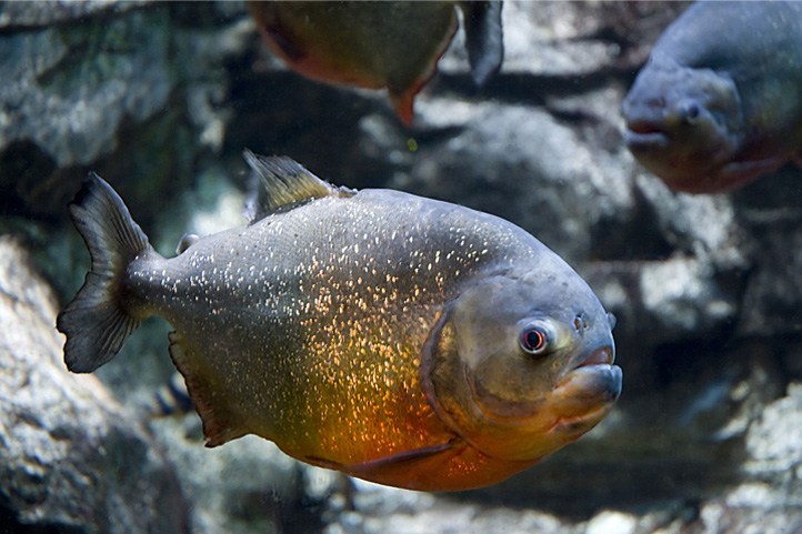 Piranha in Colombia