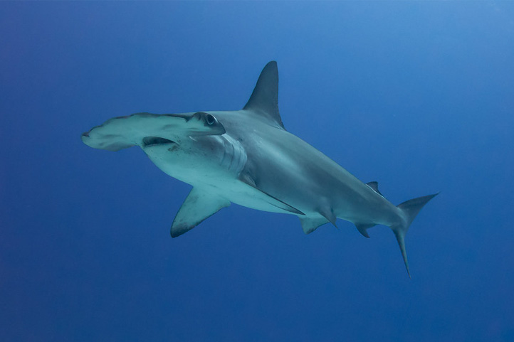 Hammerhead in Colombia
